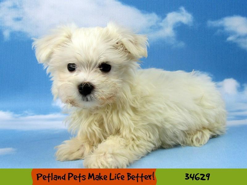 Maltese-DOG-Male-White-2717783-Petland Aurora