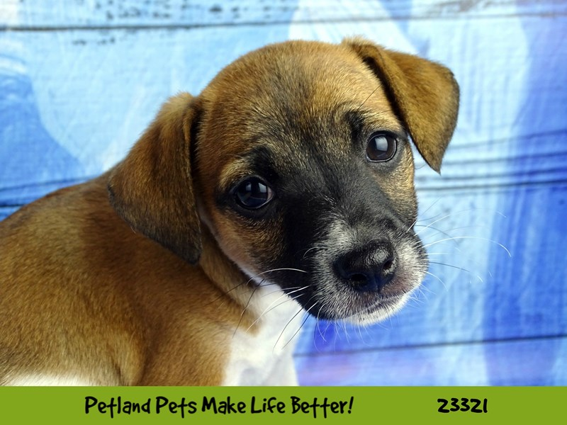 Jack Russell Terrier-Female-Red / White-2721842-Petland Naperville