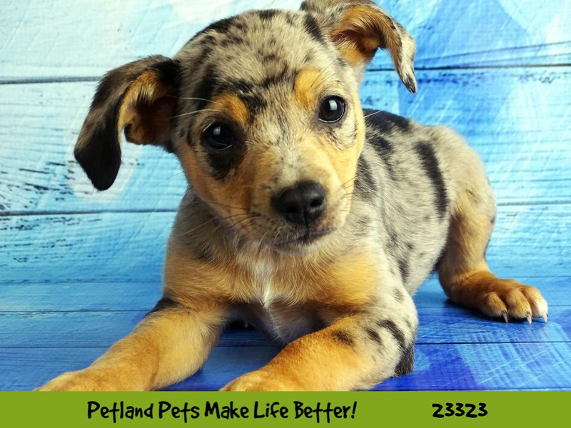 Rat Terrier/Australian Shepherd-DOG-Female-Blue Merle-2721933-Petland Naperville