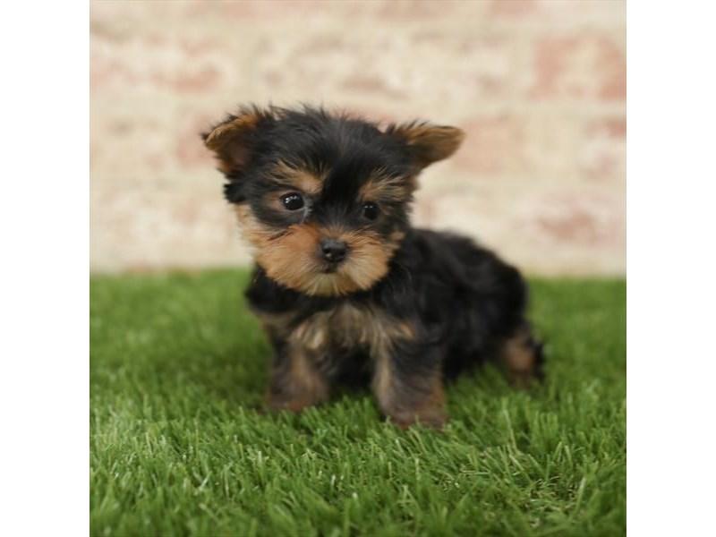 Yorkshire Terrier-DOG-Female-Black / Tan-2723823-Petland Aurora