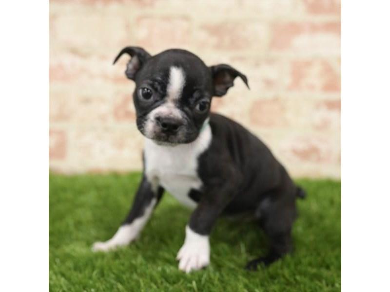 Boston Terrier-DOG-Female-Black / White-2723827-Petland Naperville