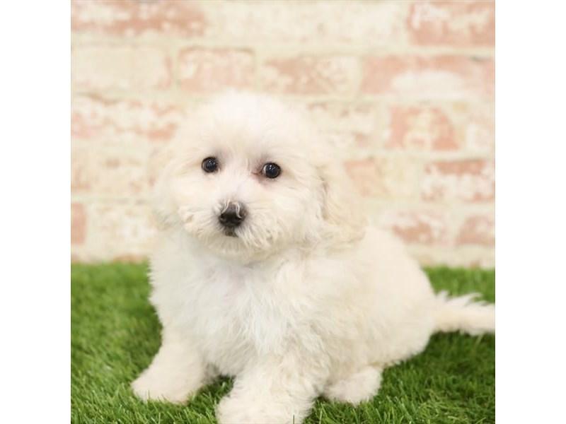 Bichapoo-DOG-Female-Cream-2723830-Petland Aurora