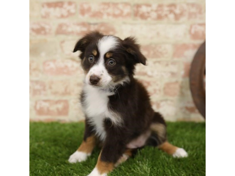 Miniature Australian Shepherd-Female-Red-2723848-Petland Naperville