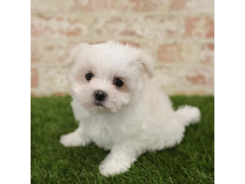 Maltese-Female-White-2723895-Petland Naperville