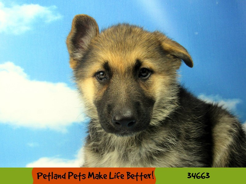 German Shepherd-DOG-Female-Black and Tan-2729161-Petland Naperville