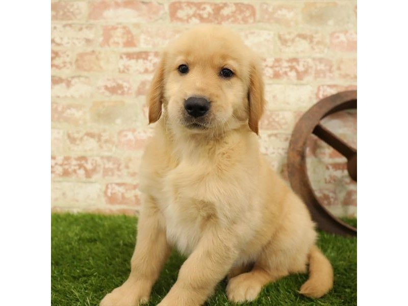 Golden Retriever-DOG-Male-Golden-2730910-Petland Naperville