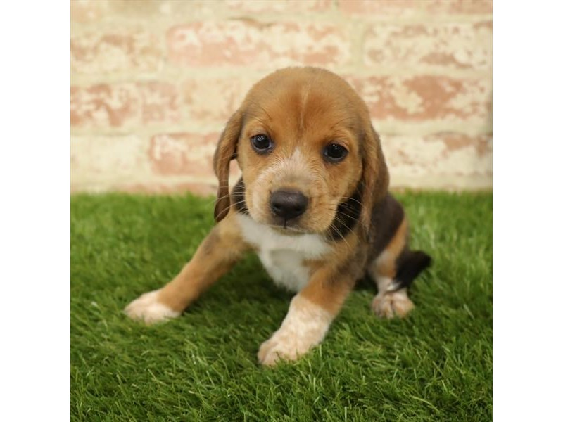 Beagle-Female-Black-2730912-Petland Naperville