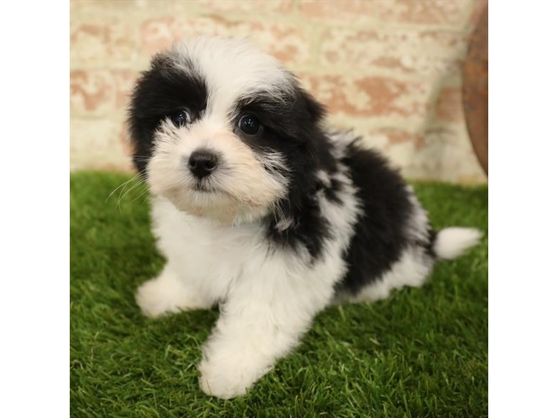 Havanese-Female-Black / White-2730913-Petland Naperville