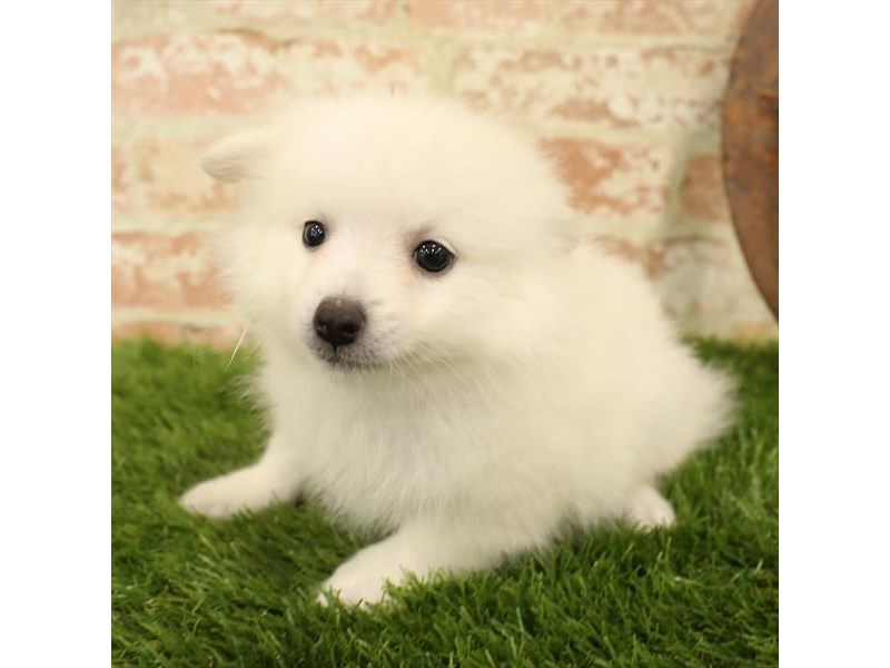 Pomeranian-DOG-Male-Cream-2730914-Petland Naperville