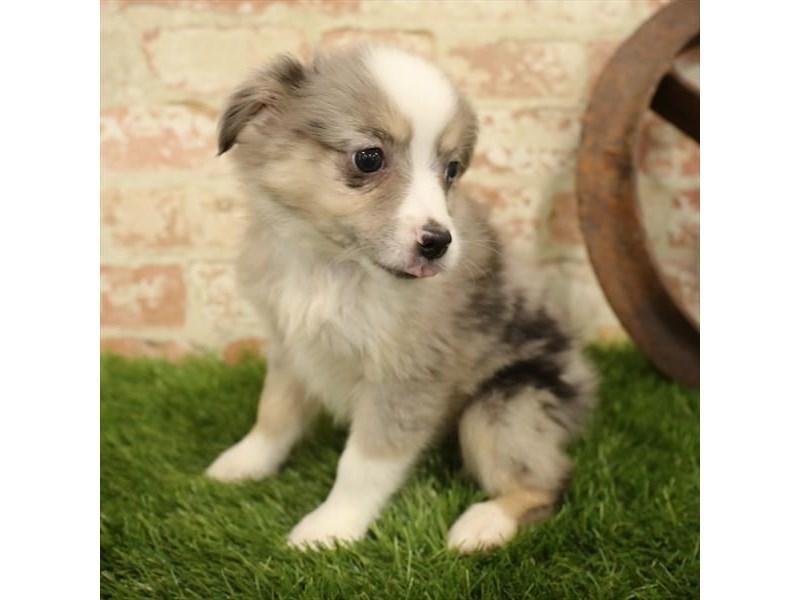 Miniature Australian Shepherd-DOG-Female-Black-2730915-Petland Aurora