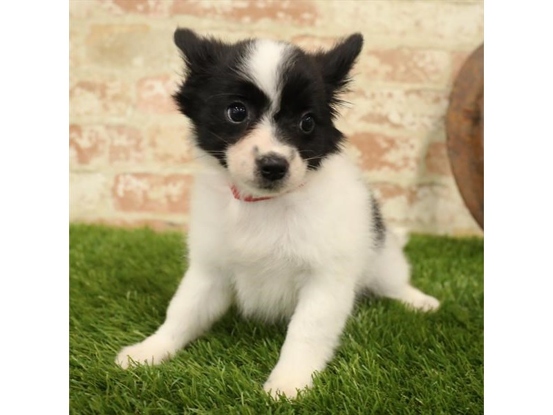 Papillon-Female-Black / White-2730916-Petland Naperville