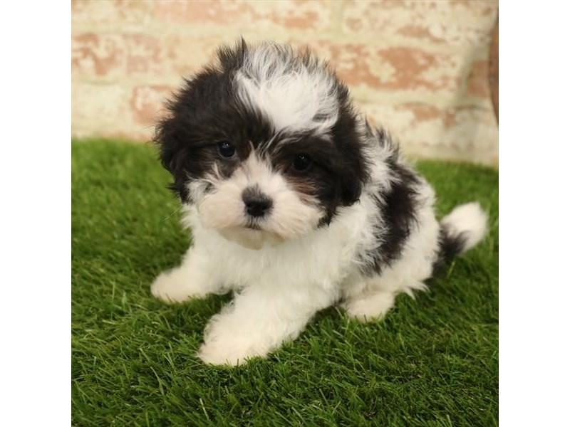Malshi-DOG-Female-Black / White-2730917-Petland Naperville