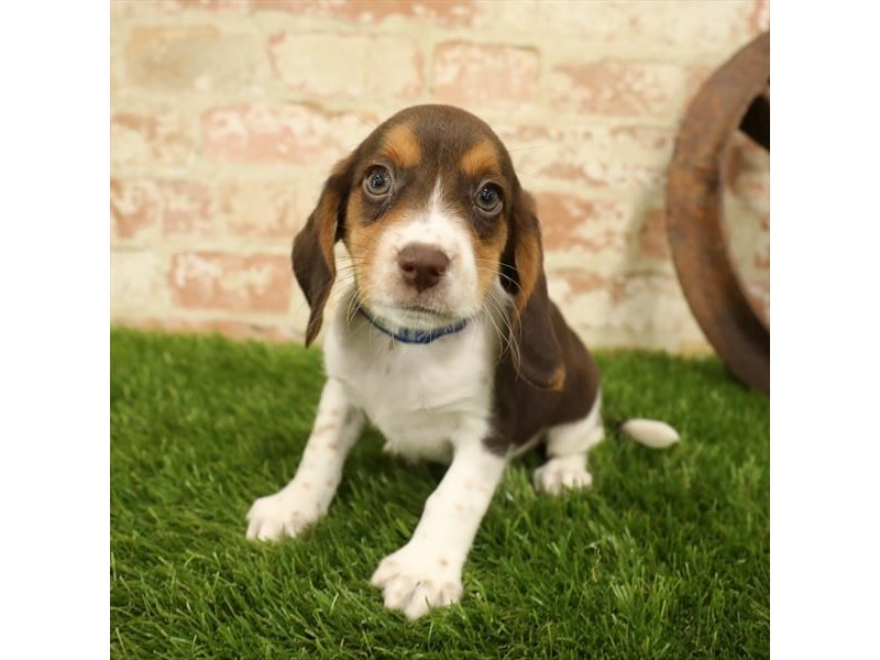 Beagle-Male-Chocolate White Tan-2730919-Petland Naperville
