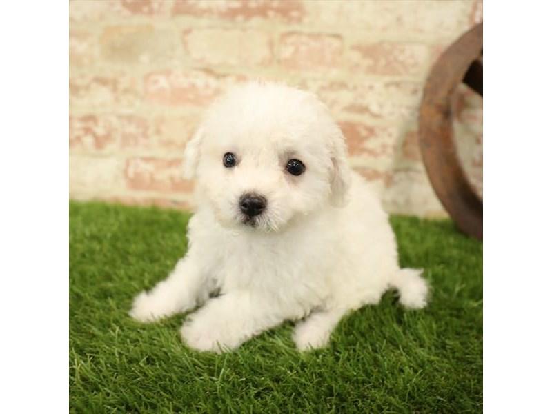 Bichon Frise-DOG-Male-White-2730920-Petland Naperville