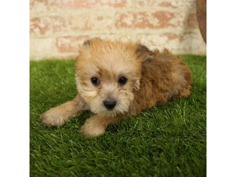 Morkie-Female-Golden-2730921-Petland Naperville