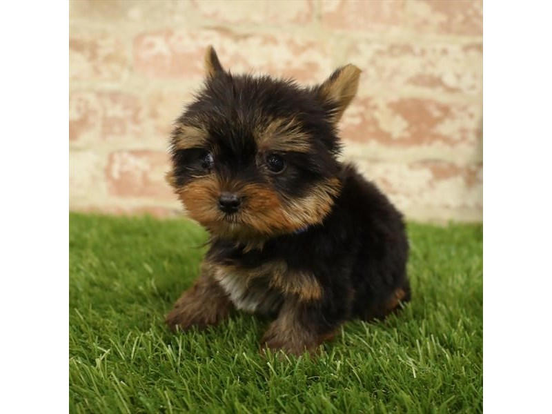 Yorkshire Terrier-DOG-Male-Black / Tan-2730923-Petland Aurora