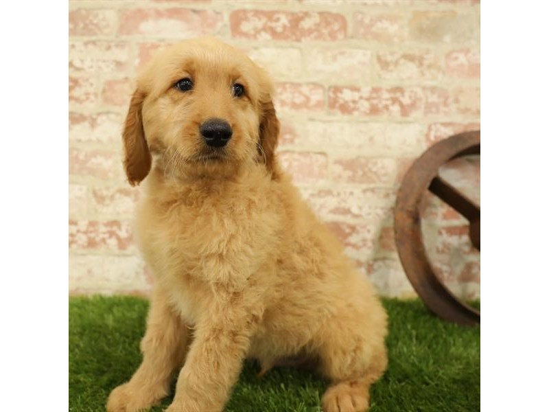 Goldendoodle-Male-Golden-2730956-Petland Naperville
