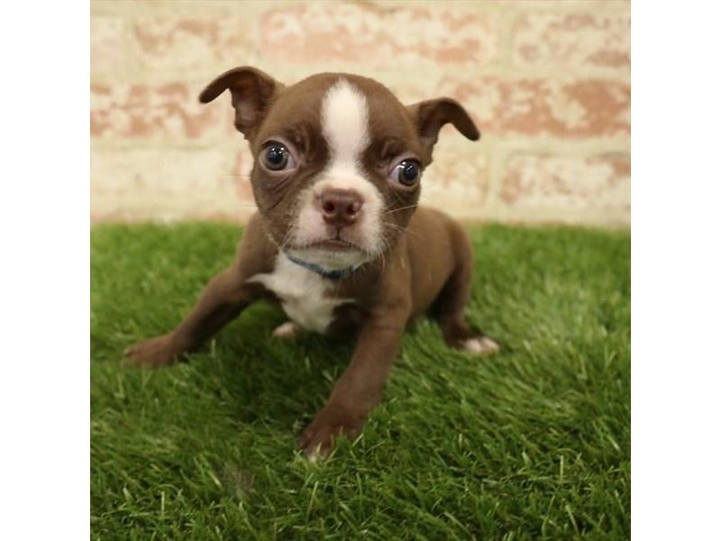 Boston Terrier-DOG-Male-Seal / White-2730957-Petland Naperville