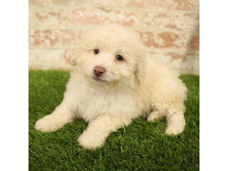 Poodle-DOG-Male-Cream-2730958-Petland Aurora