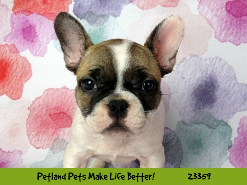 French Bulldog-Female-Fawn / White-2735800-Petland Naperville