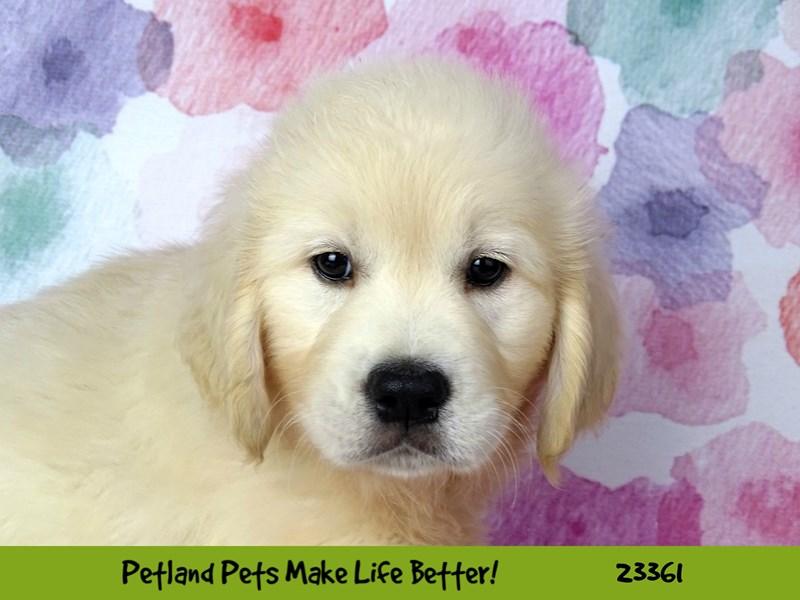 Golden Retriever-DOG-Male-Cream-2735852-Petland Naperville