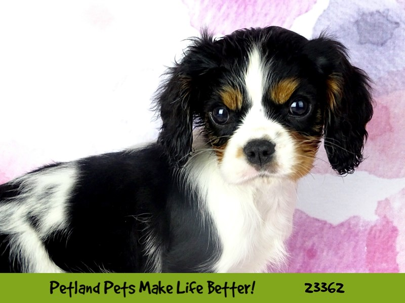 Cavalier King Charles Spaniel-DOG-Female-Tri-Colored-2735857-Petland Naperville