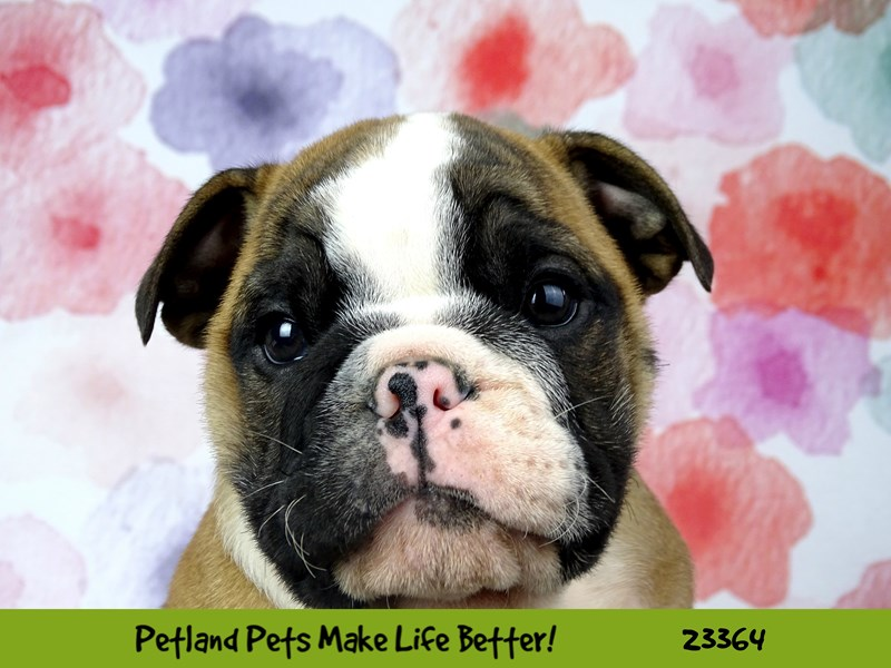 Bulldog-Male-Red / White-2735829-Petland Naperville