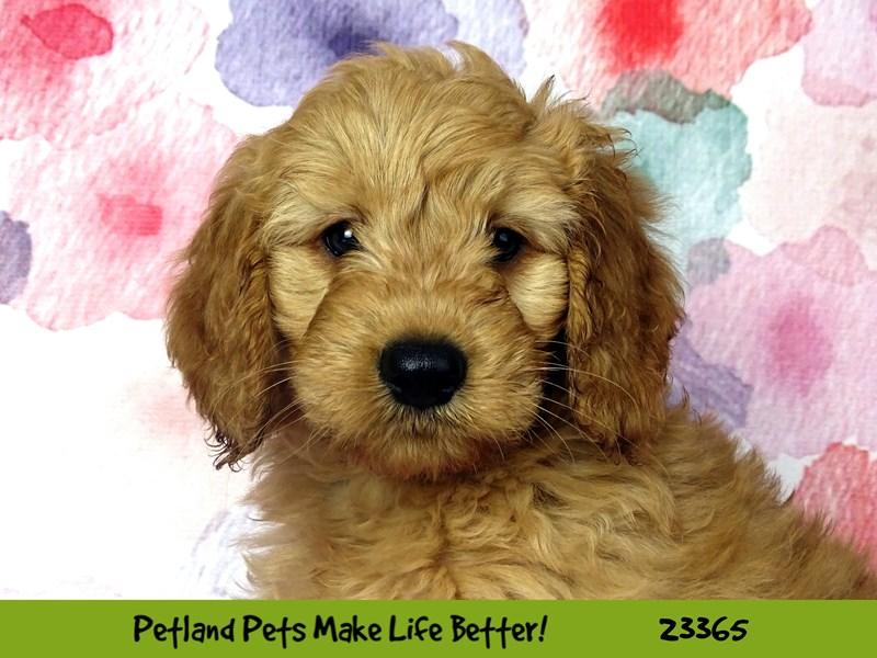Mini Goldendoodle-DOG-Male-Apricot-2735992-Petland Aurora