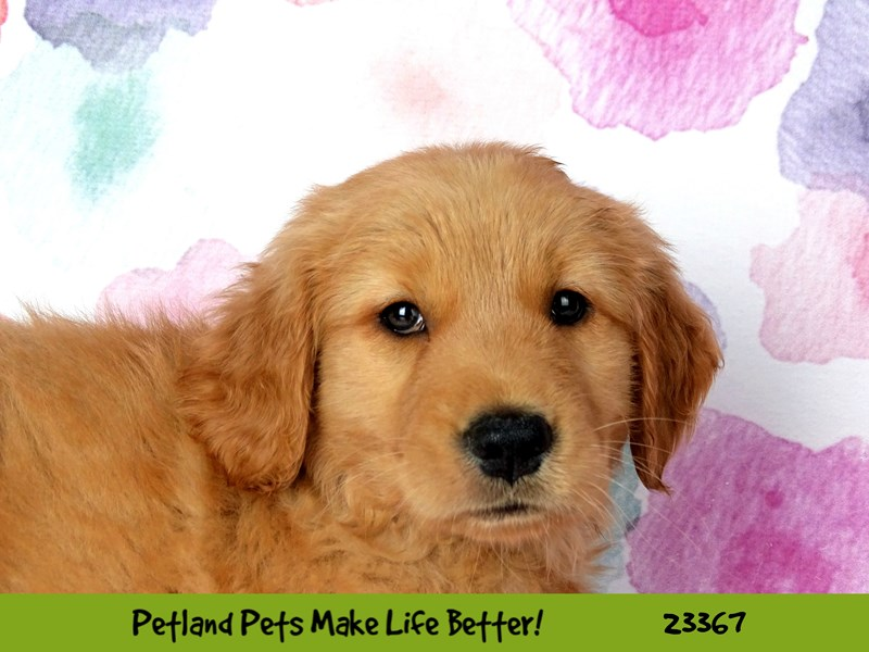 Golden Retriever-Female-Golden-2736016-Petland Naperville