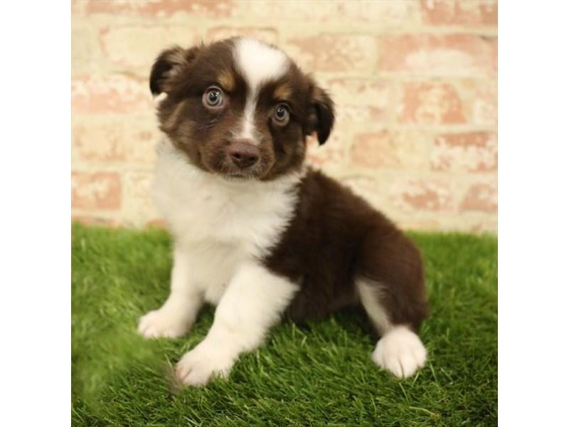 Miniature Australian Shepherd-DOG-Male-Red / White-2737767-Petland Aurora