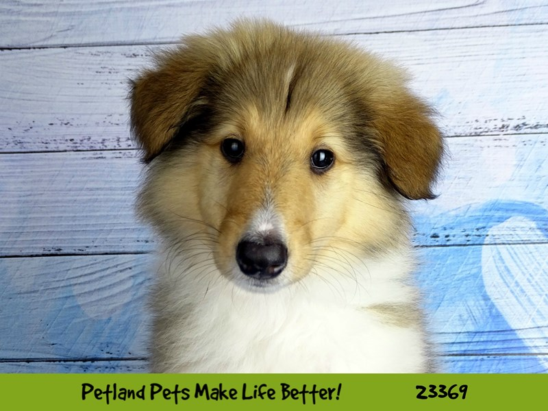Collie-DOG-Female-Sable / White-2737755-Petland Naperville
