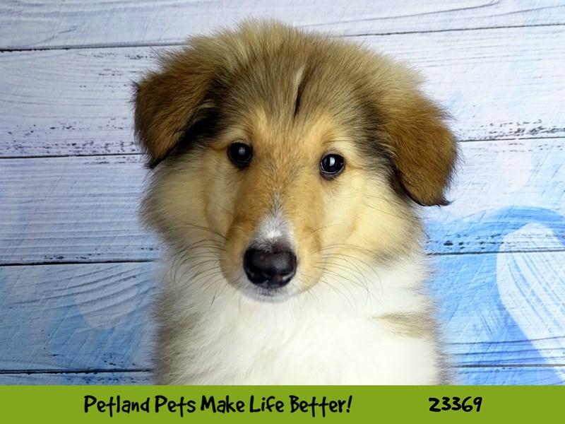 Collie-DOG-Female-Sable / White-2737755-Petland Aurora