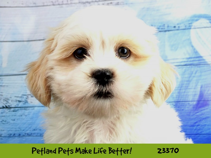 Lhasa Apso-DOG-Male-Cream-2737758-Petland Naperville
