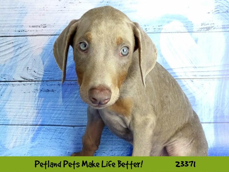 Doberman Pinscher-DOG-Male-Black / Tan-2737770-Petland Naperville