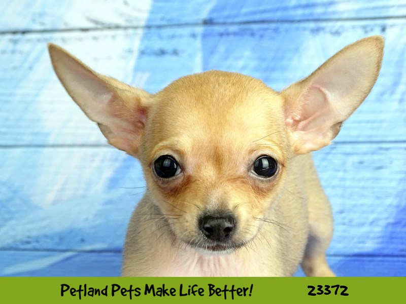 Chihuahua-DOG-Male-Fawn-2737762-Petland Naperville