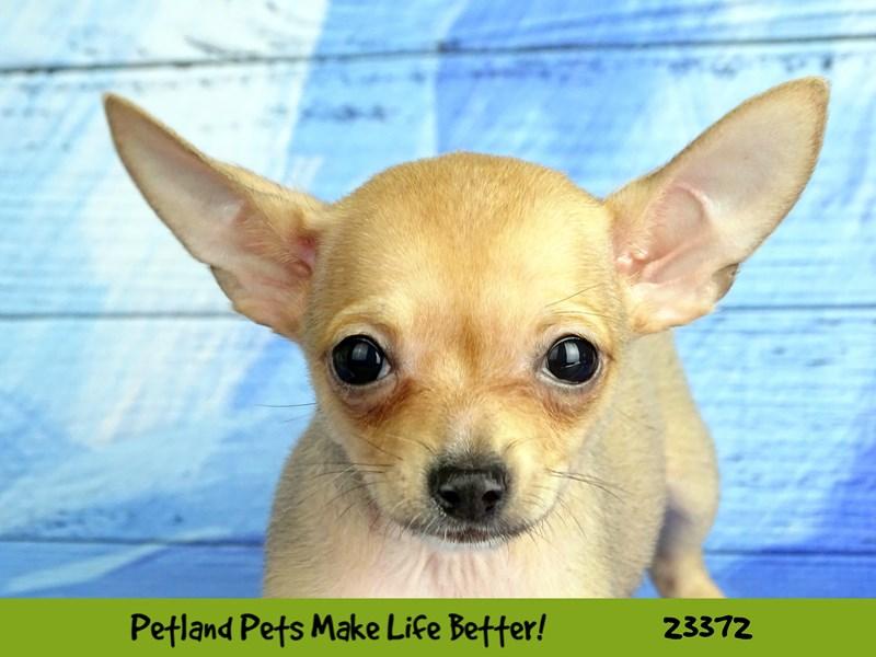 Chihuahua-DOG-Male-Fawn-2737762-Petland Aurora