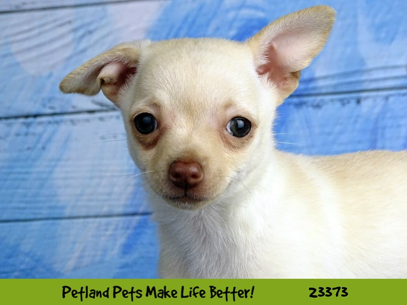 Chihuahua-Female-Cream-2737774-Petland Naperville