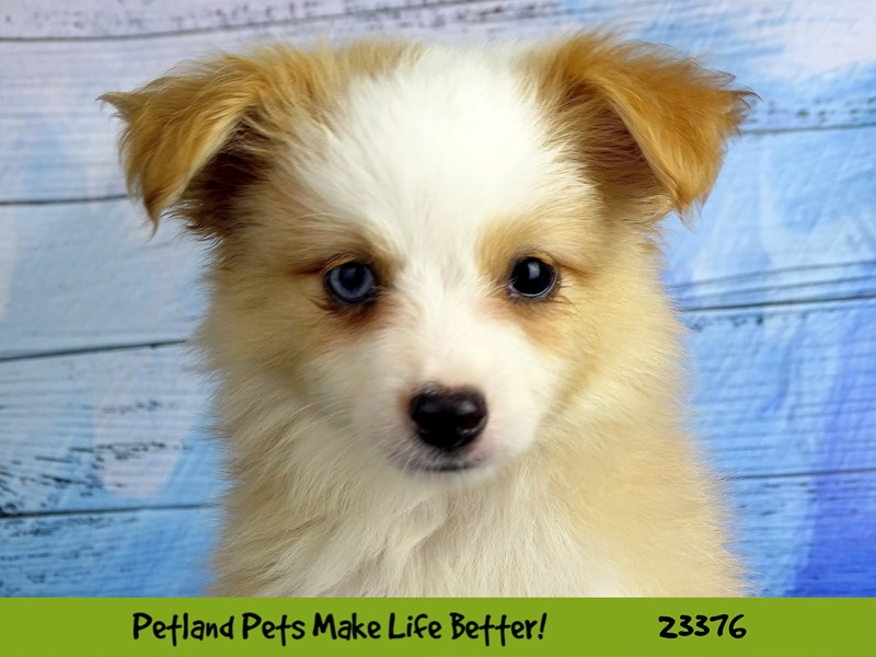 Toy Australian Shepherd-Male-Red / White-2737765-Petland Naperville