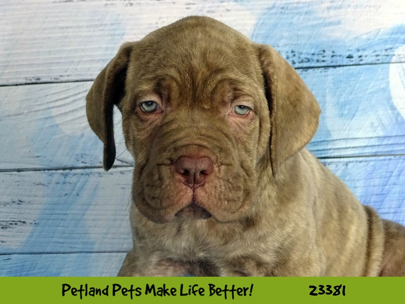 Dogue De Bordeaux/Neapolitan Mastiff-Male-Brindle-2737793-Petland Naperville
