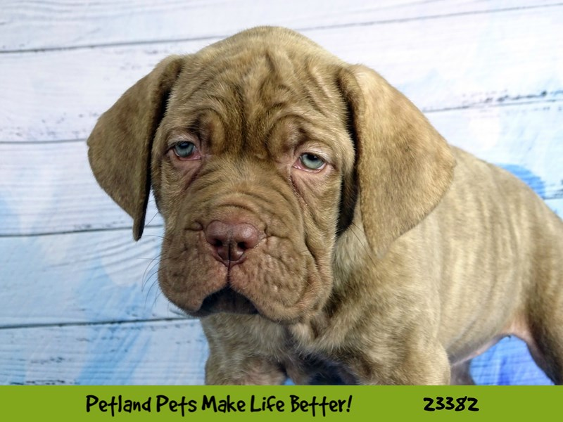 Dogue De Bordeaux/Neapolitan Mastiff-DOG-Female-Brindle-2737797-Petland Naperville