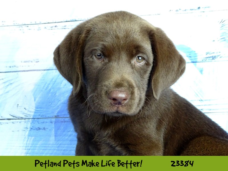 Labrador Retriever-DOG-Male-Chocolate-2737804-Petland Naperville