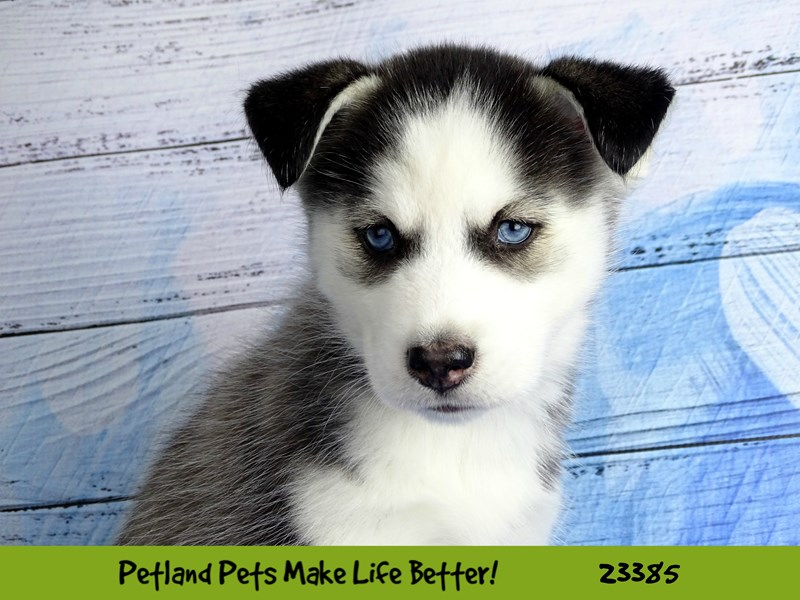 Siberian Husky-DOG-Female-Black / White-2737808-Petland Aurora