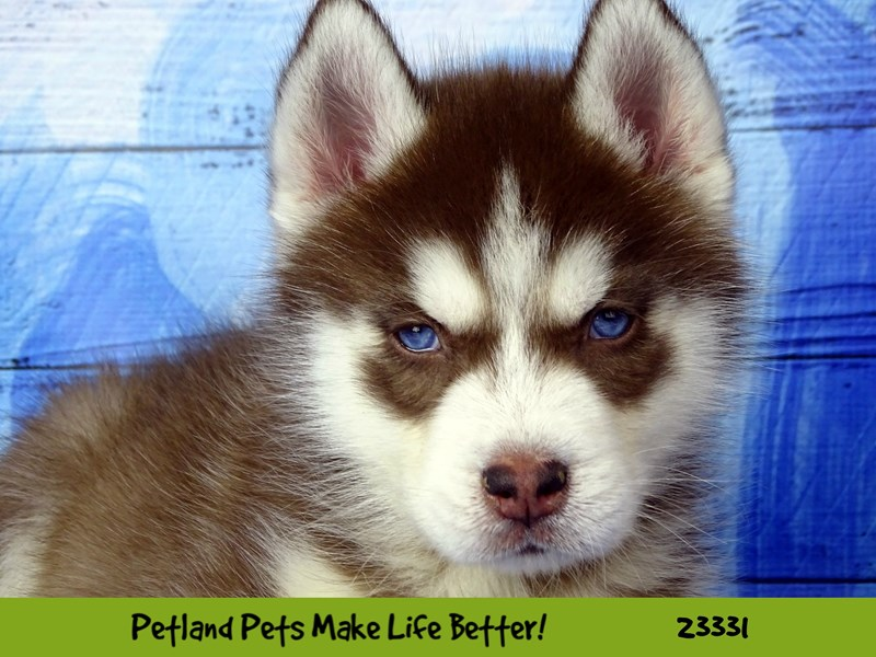 Siberian Husky-Male-Red and White-2724453-Petland Naperville
