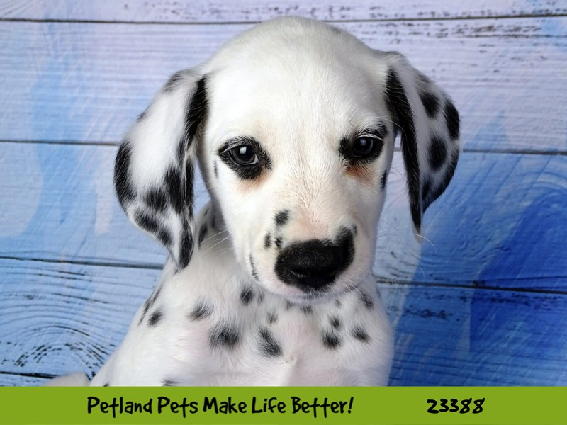Dalmatian-Male-White and Black-2743333-Petland Naperville