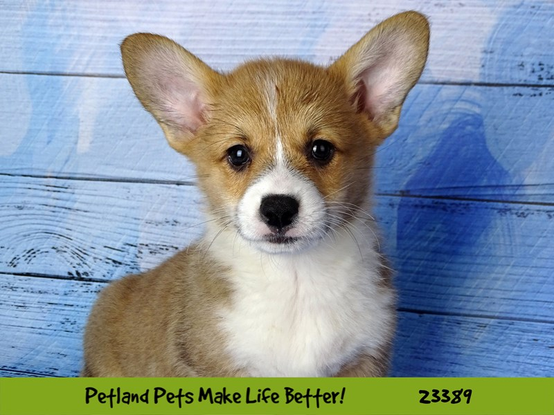 Pembroke Welsh Corgi-DOG-Male-Red and White-2743357-Petland Naperville