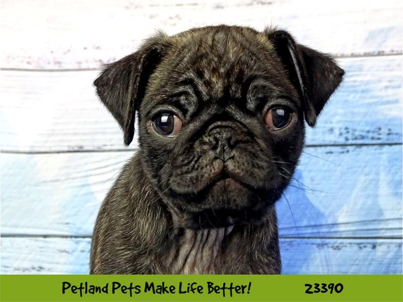Pug-Male-Black Brindle-2743401-Petland Naperville