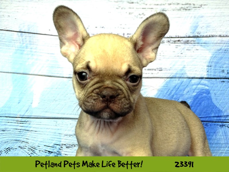 French Bulldog-DOG-Male-Light Fawn-2743458-Petland Aurora