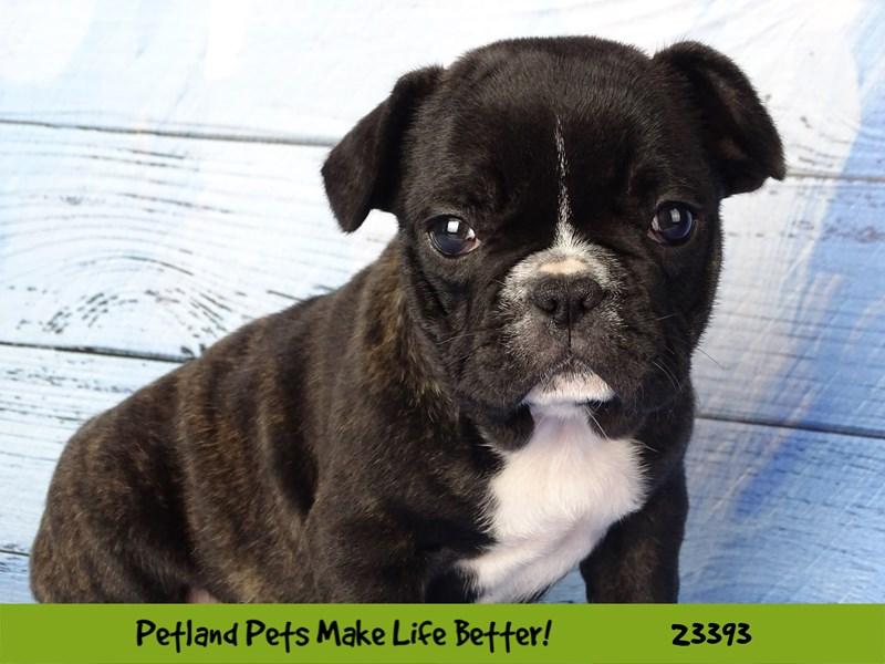 French Bulldog-DOG-Male-Brindle / White-2743594-Petland Aurora