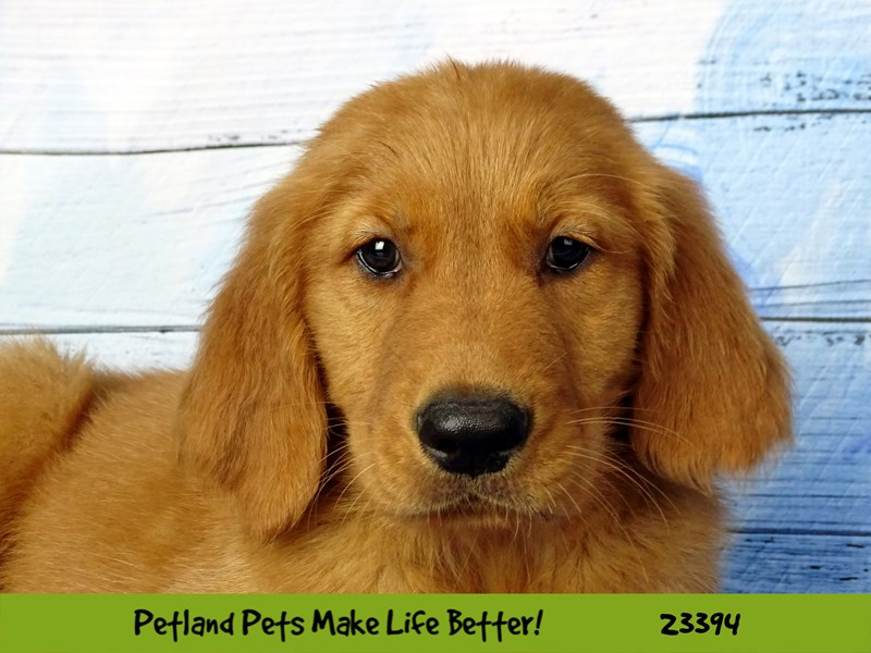 Golden Retriever-Female-Golden-2743599-Petland Naperville