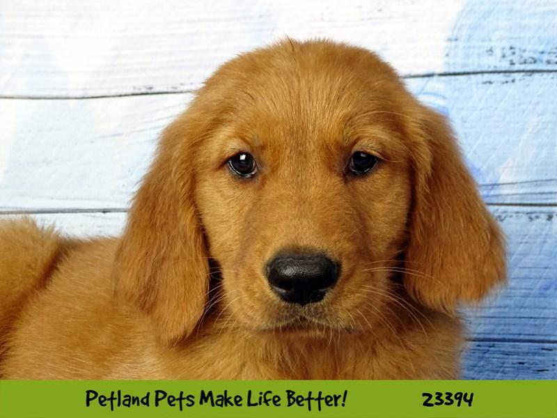 Golden Retriever-DOG-Female-Golden-2743599-Petland Aurora